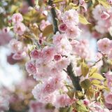 Η άνοιξη ανθίζει το ρόδινο δέντρο Στοκ Εικόνα