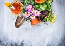 Η άνοιξη ανθίζει potting με τα εργαλεία κήπων, δοχεία και χώμα, στον γκρίζο ξύλινο πίνακα Στοκ Φωτογραφία