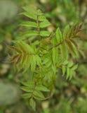 Η άνοιξη βγάζει φύλλα Στοκ Εικόνες