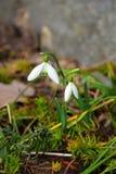 Η άνοιξη είναι σχεδόν εδώ πρώτα λουλούδια Στοκ Εικόνα
