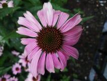 Η άνοιξη μεγέθυνε ρόδινο λουλούδι γεννημένο στη φύση στοκ εικόνα