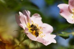 Η άνοιξη ρόδινη αυξήθηκε λουλούδι και μέλισσα Μέλισσα σε ένα λουλούδι Στοκ Φωτογραφίες