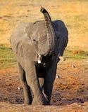 Η άποψη πορτρέτου ενός αφρικανικού ελέφαντα με το είναι κορμός που επεκτείνεται στον αέρα στοκ εικόνα