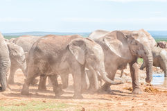 Η λάσπη κάλυψε τους αφρικανικούς ελέφαντες περπατώντας στη σκόνη Στοκ Εικόνες