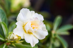 Η άσπρη έρημος αυξήθηκε ή το τροπικό λουλούδι κρίνων Impala Στοκ εικόνα με δικαίωμα ελεύθερης χρήσης