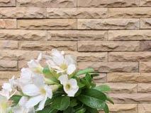 Η άσπρη έρημος αυξήθηκε με τον τοίχο Στοκ φωτογραφία με δικαίωμα ελεύθερης χρήσης