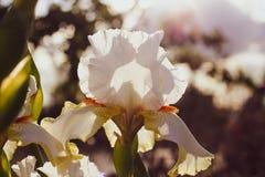 Η άσπρη ίριδα είναι αναδρομικά φωτισμένη στοκ φωτογραφίες με δικαίωμα ελεύθερης χρήσης