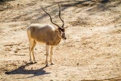 Η άσπρη αντιλόπη Addax στο βιβλικό ζωολογικό κήπο της Ιερουσαλήμ, Ισραήλ Στοκ Εικόνα