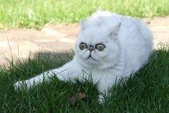 Η άσπρη γάτα βρίσκεται στοκ εικόνες με δικαίωμα ελεύθερης χρήσης