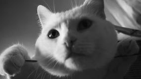 Η άσπρη γάτα κοιτάζει επίμονα στη κάμερα απόθεμα βίντεο