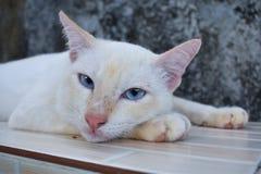 Η άσπρη γάτα με τα μπλε μάτια φαίνεται κάτι Στοκ Εικόνες