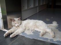 Η άσπρη γάτα ξαπλώνει στοκ εικόνα με δικαίωμα ελεύθερης χρήσης