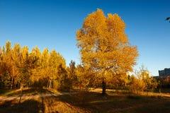 Η άσπρη λεύκα φθινοπώρου με το χρυσό ηλιοβασίλεμα φύλλων Στοκ Εικόνες