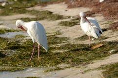 Η άσπρη θρεσκιόρνιθα στις ακτές Στοκ εικόνες με δικαίωμα ελεύθερης χρήσης