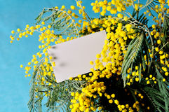 Η άσπρη κάρτα με ελεύθερου χώρου για το κείμενο στο φωτεινό κίτρινο χνουδωτό mimosa ανθίζει Στοκ φωτογραφία με δικαίωμα ελεύθερης χρήσης