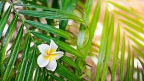 Η άσπρη και κίτρινη πτώση λουλουδιών plumeria ομορφιάς κάτω σε ένα πράσινο βγάζει φύλλα το δέντρο, λουλούδι Frangipani Στοκ εικόνα με δικαίωμα ελεύθερης χρήσης