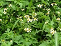 Η άσπρη μικρή ισπανική βελόνα λουλουδιών Στοκ Φωτογραφία