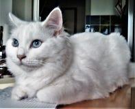 Η άσπρη νέα γάτα μου Στοκ φωτογραφίες με δικαίωμα ελεύθερης χρήσης