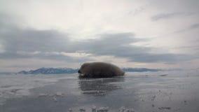 Η άσπρη νεογέννητη σφραγίδα στον πάγο της λίμνης Baikal στη Ρωσία είναι πολύ συμπαθητική φιλμ μικρού μήκους