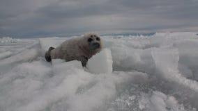 Η άσπρη νεογέννητη σφραγίδα στον πάγο της λίμνης Baikal στη Ρωσία σέρνεται πίσω απόθεμα βίντεο