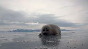 Η άσπρη νεογέννητη σφραγίδα στον πάγο της λίμνης Baikal στη Ρωσία ξανακοίταξε απόθεμα βίντεο