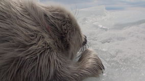 Η άσπρη νεογέννητη σφραγίδα στον πάγο της λίμνης Baikal στη Ρωσία στηρίζεται ήσυχα απόθεμα βίντεο