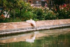 Η άσπρη πάπια κάθεται κοντά στο κανάλι Ευρωπαϊκή πανίδα Στοκ εικόνα με δικαίωμα ελεύθερης χρήσης