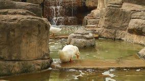 Η άσπρη πάπια καθαρίζει τα φτερά της στεμένος στο νερό απόθεμα βίντεο