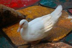 Η άσπρη πάπια Στοκ εικόνα με δικαίωμα ελεύθερης χρήσης