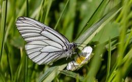 Η άσπρη πεταλούδα συλλέγει το νέκταρ proboscis της από ένα λουλούδι Στοκ Εικόνες