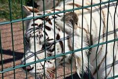 Η άσπρη τίγρη περπατά στο κλουβί, καλοκαίρι στοκ εικόνες με δικαίωμα ελεύθερης χρήσης
