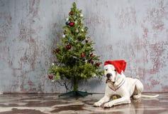 Η άσπρη φυλή Dogo Argentino σκυλιών, βρίσκεται κάτω από το χριστουγεννιάτικο δέντρο Στοκ εικόνα με δικαίωμα ελεύθερης χρήσης