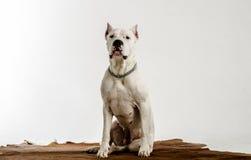 Η άσπρη φυλή Dogo Argentino σκυλιών, βρίσκεται σε ένα δέρμα Στοκ Φωτογραφίες