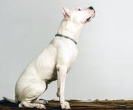 Η άσπρη φυλή Dogo Argentino σκυλιών, βρίσκεται σε ένα δέρμα Στοκ Εικόνα