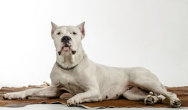 Η άσπρη φυλή Dogo Argentino σκυλιών, βρίσκεται σε ένα δέρμα Στοκ φωτογραφία με δικαίωμα ελεύθερης χρήσης
