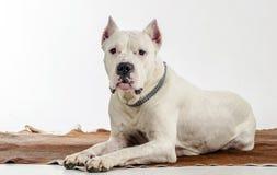 Η άσπρη φυλή Dogo Argentino σκυλιών, βρίσκεται σε ένα δέρμα Στοκ Εικόνες