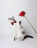 Η άσπρη χνουδωτή μπλε-eyed γάτα σε έναν μοντέρνο δεσμό τόξων σε ένα ελαφρύ υπόβαθρο με ένα κόκκινο αυξήθηκε Κόκκινος δεσμός τόξων Στοκ φωτογραφία με δικαίωμα ελεύθερης χρήσης