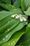 Η άσπρη Lilly των πτώσεων κοιλάδων και δροσιάς στα πράσινα φύλλα Στοκ Εικόνες