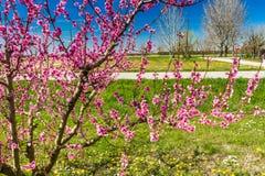Η άφιξη της άνοιξη στην άνθηση των δέντρων ροδακινιών μεταχειρίστηκε το W στοκ εικόνες