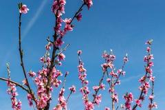 Η άφιξη της άνοιξη στην άνθηση των δέντρων ροδακινιών μεταχειρίστηκε το W στοκ εικόνα με δικαίωμα ελεύθερης χρήσης