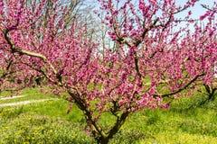 Η άφιξη της άνοιξη στην άνθηση των δέντρων ροδακινιών μεταχειρίστηκε το W στοκ φωτογραφία με δικαίωμα ελεύθερης χρήσης