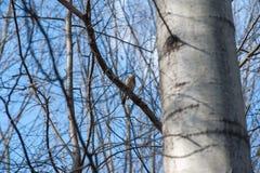 Η άφιξη της άνοιξη στο δάσος, οφθαλμοί στα δέντρα ανθίζει, άνθισμα φυλλώματος στοκ εικόνες