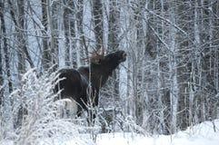 Η άλκη στα ξύλα τρώει τους κλαδίσκους Στοκ Φωτογραφία