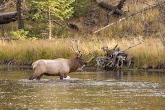 Η άλκη του Bull διασχίζει έναν ποταμό Στοκ Εικόνα