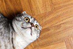 Η έκπληκτη γάτα που βρίσκεται στο πάτωμα, κλείνει επάνω Βρετανική γάτα που βρίσκεται στο πάτωμα με το διάστημα αντιγράφων Στοκ Εικόνες