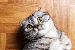 Η έκπληκτη γάτα που βρίσκεται στο πάτωμα, κλείνει επάνω Βρετανική γάτα που βρίσκεται στο πάτωμα με το διάστημα αντιγράφων Στοκ φωτογραφία με δικαίωμα ελεύθερης χρήσης