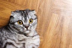 Η έκπληκτη γάτα που βρίσκεται στο πάτωμα, κλείνει επάνω Βρετανική γάτα που βρίσκεται στο πάτωμα με το διάστημα αντιγράφων Στοκ Φωτογραφία