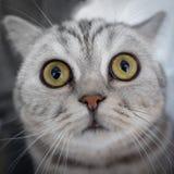 Η έκπληκτη ριγωτή γάτα φαίνεται ευθεία στη κάμερα, ρουθουνίζει αριθ. του στοκ εικόνες
