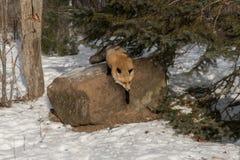 Ηλέκτρινα κόκκινα αλεπού & x28 φάσης Vulpes vulpes& x29  Άλματα από το βράχο Στοκ φωτογραφία με δικαίωμα ελεύθερης χρήσης