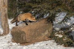 Ηλέκτρινα κόκκινα αλεπού & x28 φάσης Vulpes vulpes& x29  Sniffs επάνω στο βράχο Στοκ εικόνες με δικαίωμα ελεύθερης χρήσης